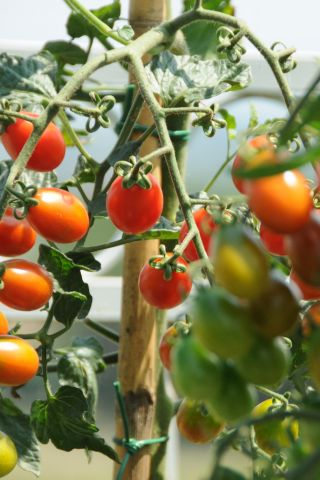 Image of Date Tomatoes on the vine in July at Siena House, Tuscany.