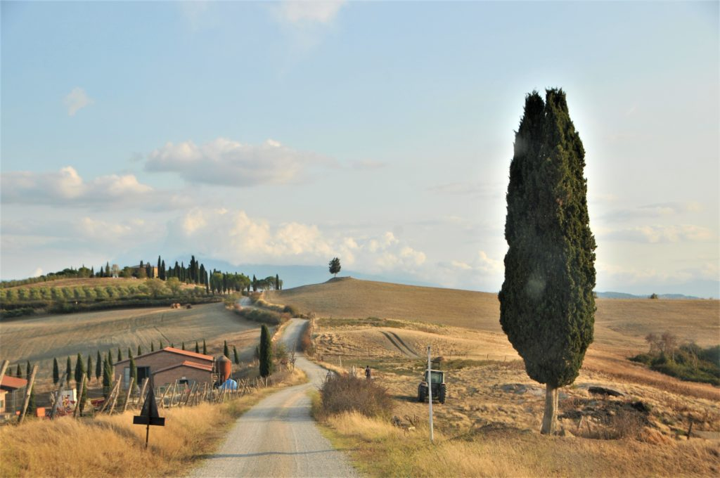 Image showing the wheatfields of the val d'orcia area in siena golden rippled fields and a huge cypress tree at right