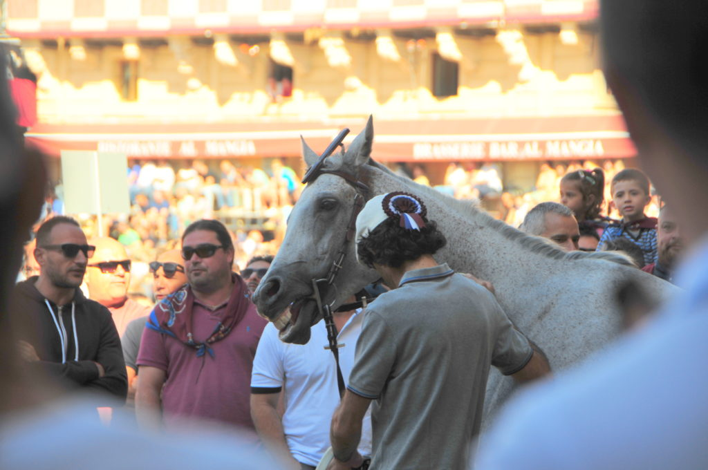 Image showing a grey horse with his handler in the central square in Siena on the morning of the final try out for the palio horse race the animals is surrounded by ,en in sunglasses wearing the contrada scarves