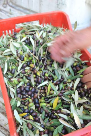 image showing a red olive box almost filled with black and green olives and olive leaves and two hands sifting through them ready to go to the mill to be pressed into olive oil