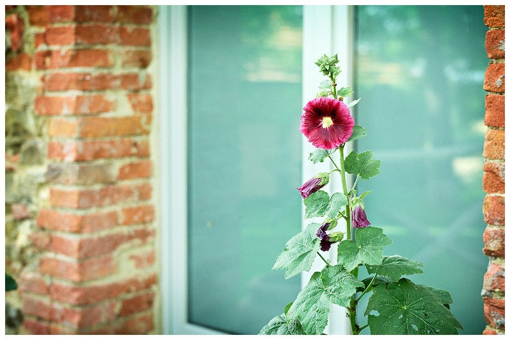 Image showing a siena red brick wall with pale grey green window door visible and a hollyhock plant with deep pink bloom in foreground