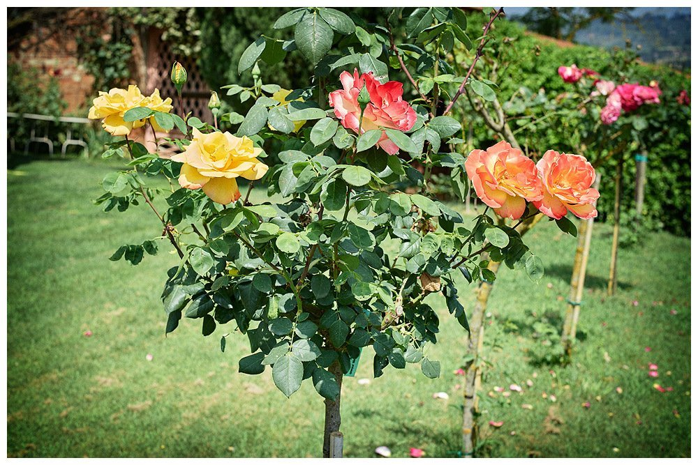 Image showing a row of rose bushes with blooms in yellow, coral and salmon pink planted in a lawn
