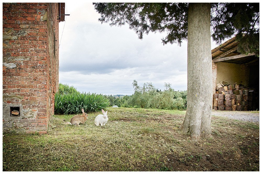 Image showing two rabbits under a huge cypress tree outside a siena red tuscan country house at right there is an open barn with wood pile within photography by rene rickli